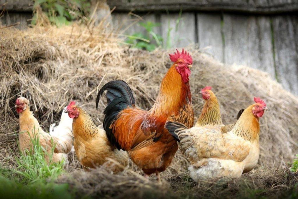 A rooster and chickens. (Pixabay)