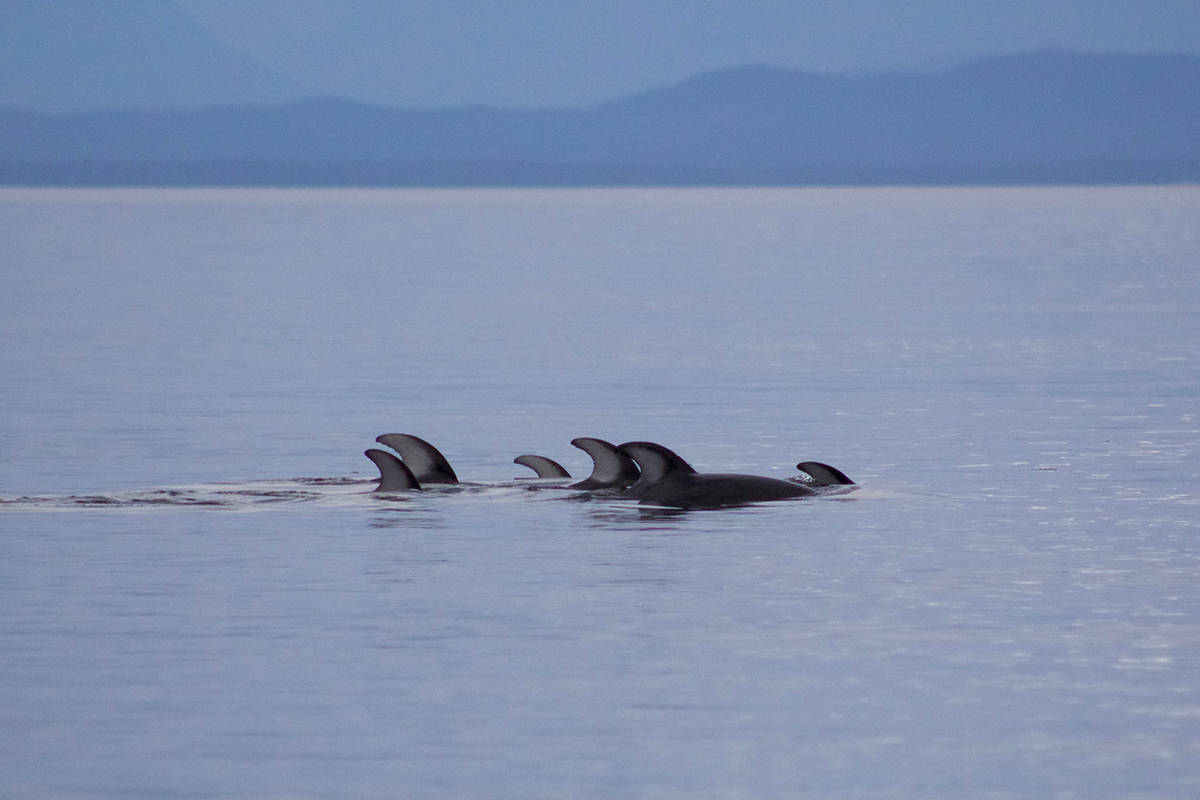 Pacific white-sided dolphins spotted near Little River Ferry Terminal