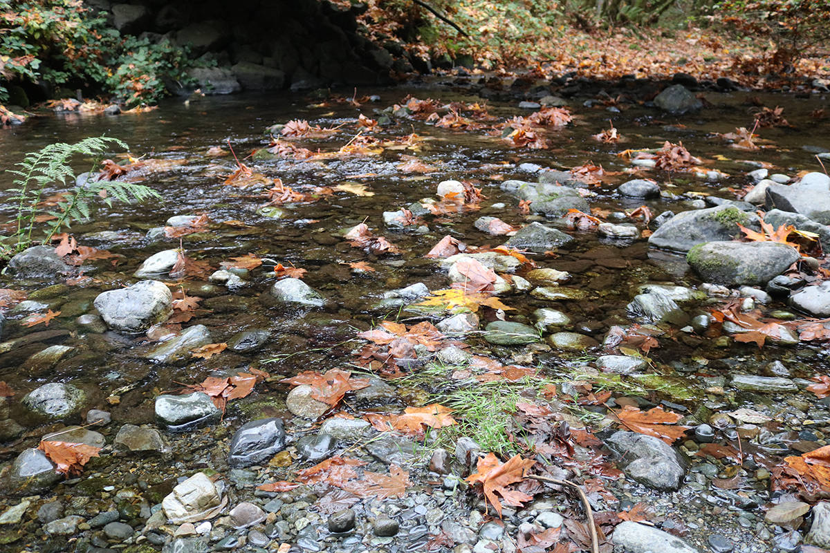 Goldstream River is still quite shallow in some spots, but will soon have thousands of salmon passing through to spawn. (Lindsey Horsting/News staff)