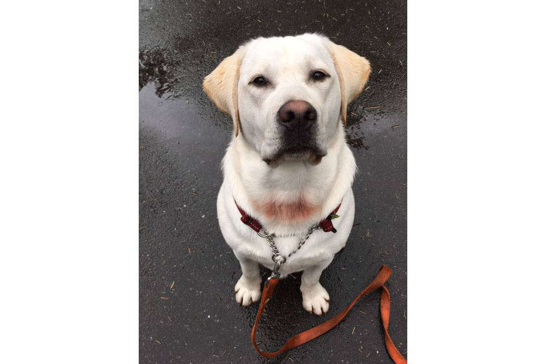 Buddy, a nine-month-old labrador was allegedly sprayed with bear spray after an altercation near Highland Secondary School on Nov. 15. Photo courtesy of Liz Lyle-Mattson