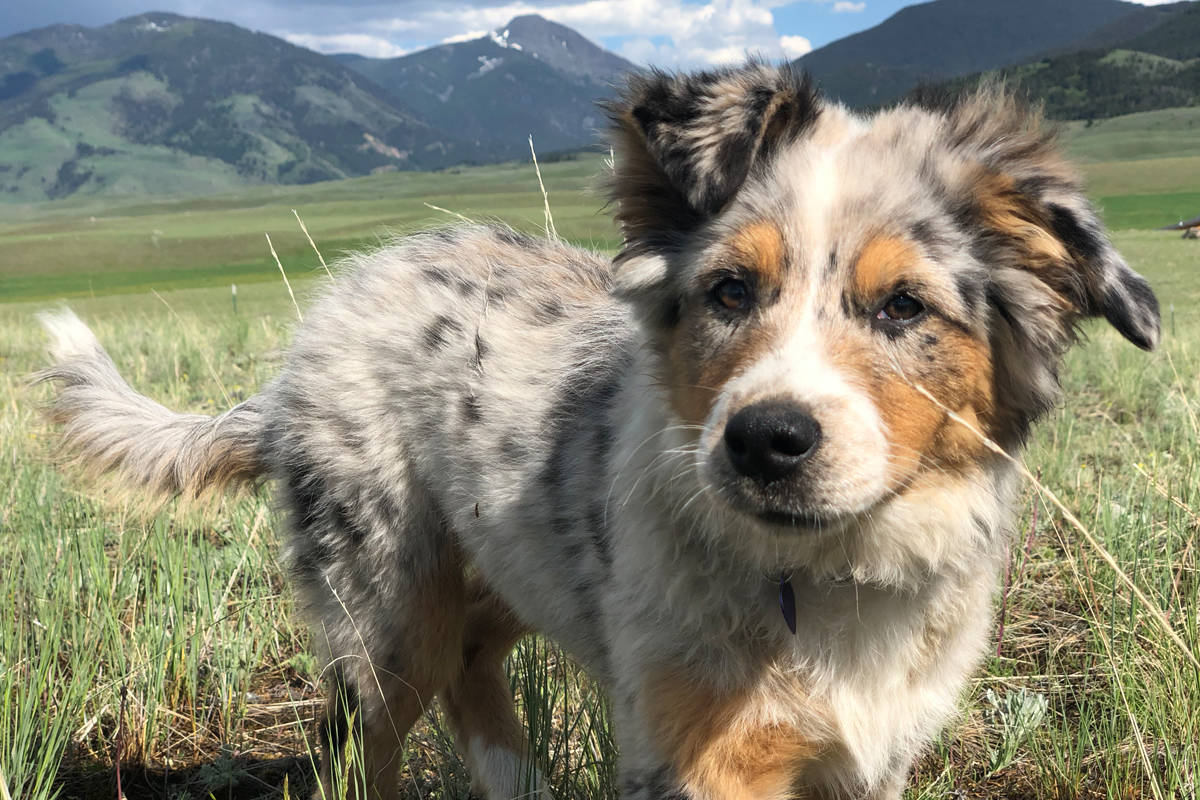 Shasta, a 10-month-old Australian shepherd, was killed by a Conibear trap last month near Winlaw. Her owners want the law regulating where traps can be placed changed. Photo submitted