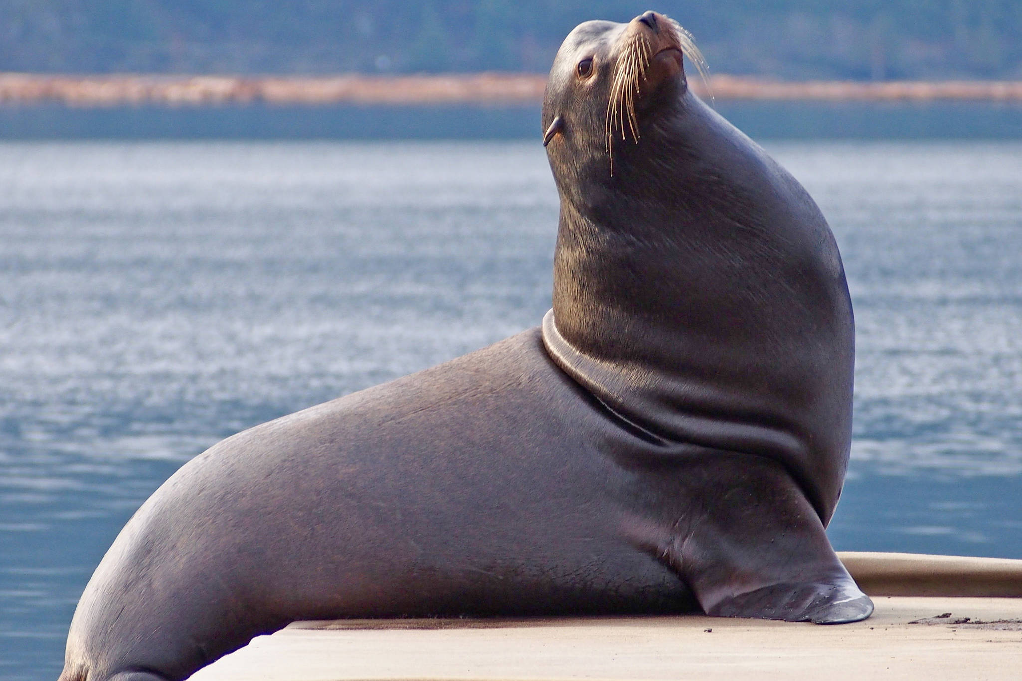 A California sea lion visits the dock at Port Alberni's Maritime Discovery Centre. Sea lions are showing up in Alberni Inlet larger numbers, threatening salmon, say fishers. MIKE YOUDS PHOTO