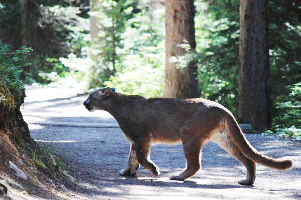 The Saanich Police Department has received three reports of cougar sightings in three days. (Black Press Media file photo)