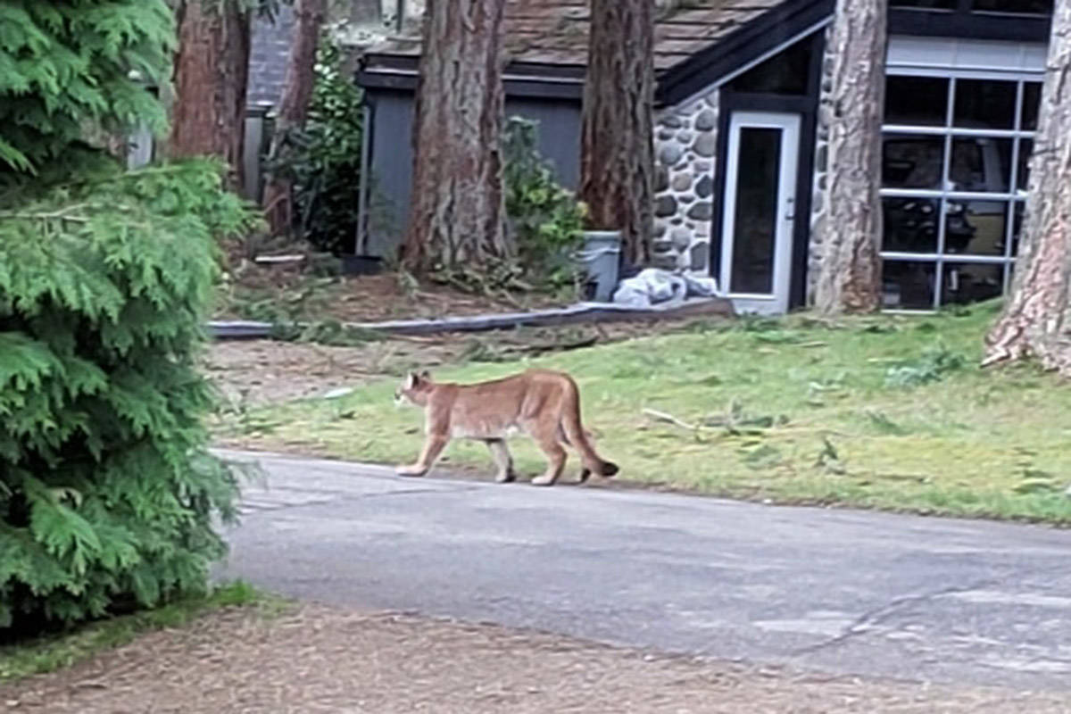 Local resident Deborah Wedel captured this photo of a cougar on Steelhead Road on Sunday morning. There have been multiple cougar sightings in recent days around Campbell River.