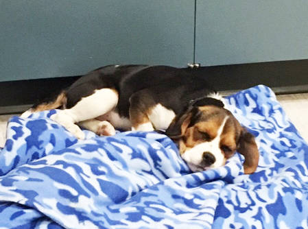 Cali the beagle-spaniel cross takes a nap at the Osoyoos RCMP detachment after she was recovered by officers from the people who had stolen her earlier in the day. (Submitted photo)
