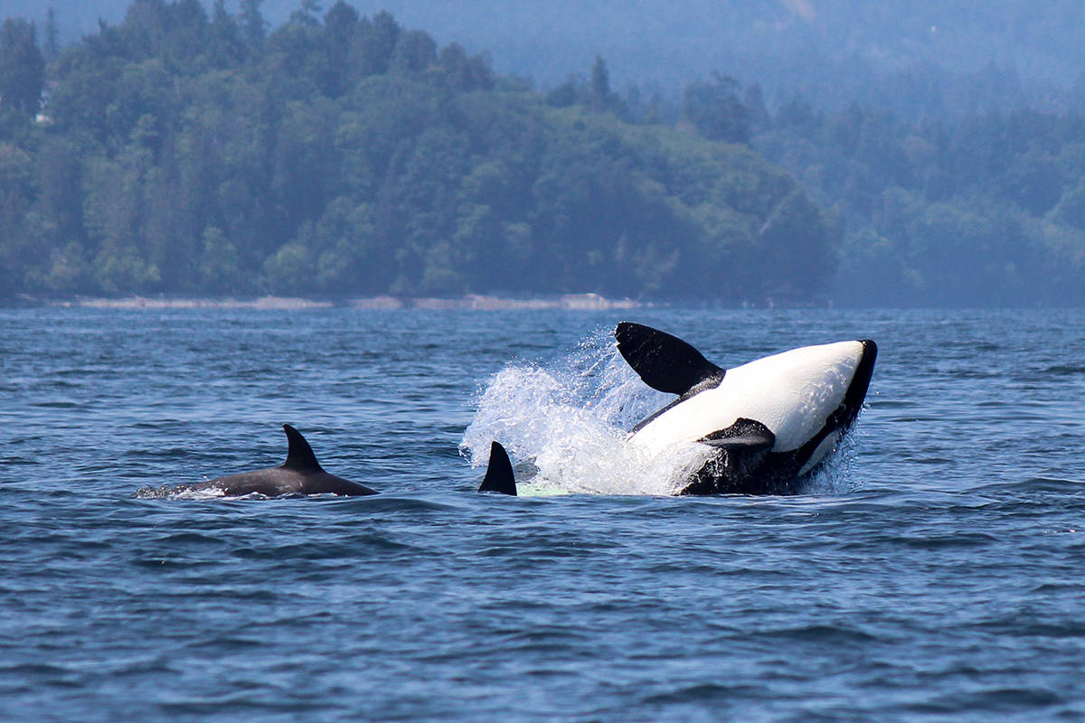 Bigg's killer whales splash near Nanaimo's Neck Point earlier this spring. NATALIE REICHENBACHER/Vancouver Island Whale Watch
