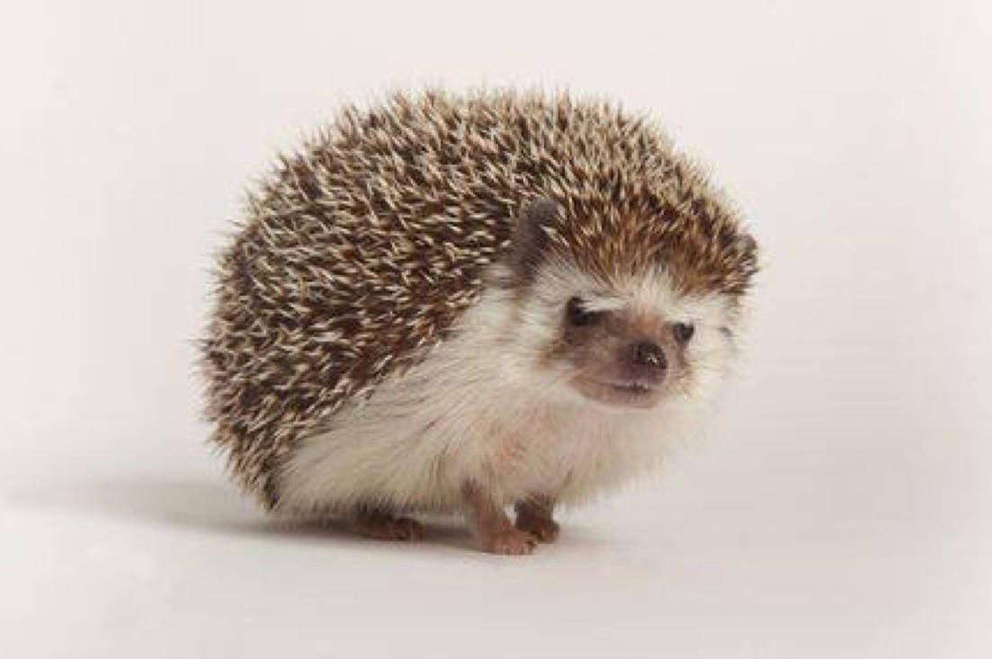 Five hedgehogs were found in the parking lot of the Maple Ridge branch of the BC SPCA. (Contributed)                                Five hedgehogs were found in the parking lot of the Maple Ridge branch of the BC SPCA. (Contributed)