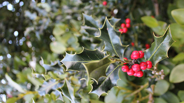 Invasive English holly poses threat to Island's eco-system