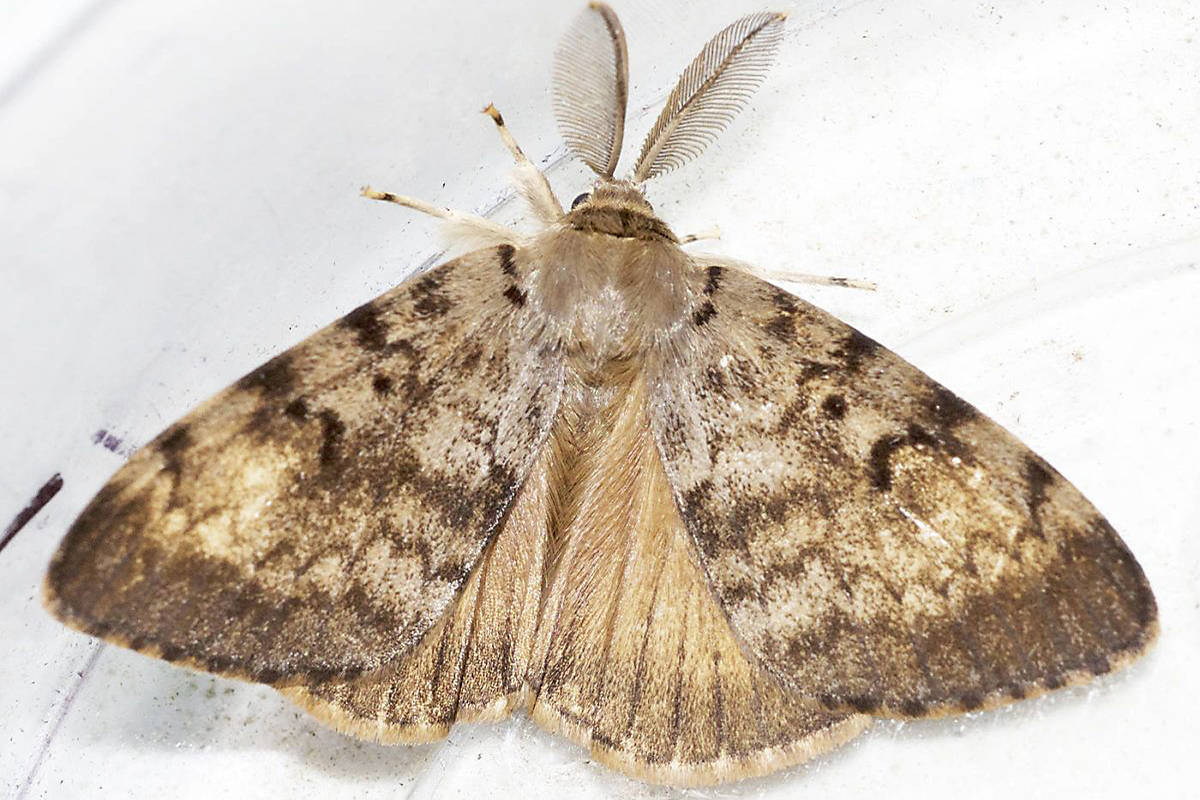 European gypsy moths (note the feather-like antennae) are an invasive species in North America, but the province is attempting to keep them from getting a foothold in B.C. by spraying for the moths in various parts of the province, including Lake Cowichan. (Photo by Marian Goldsmith/Used Under Common License)