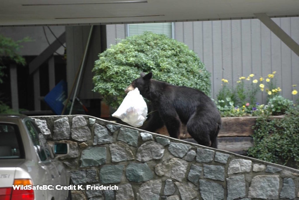 Wild Wise Sooke reminds the community to be bear aware, and to avoid having bear attractants in their yards. (Black Press Media file photo)                                Black Bear carrying garbage. (Black Press Media file photo)