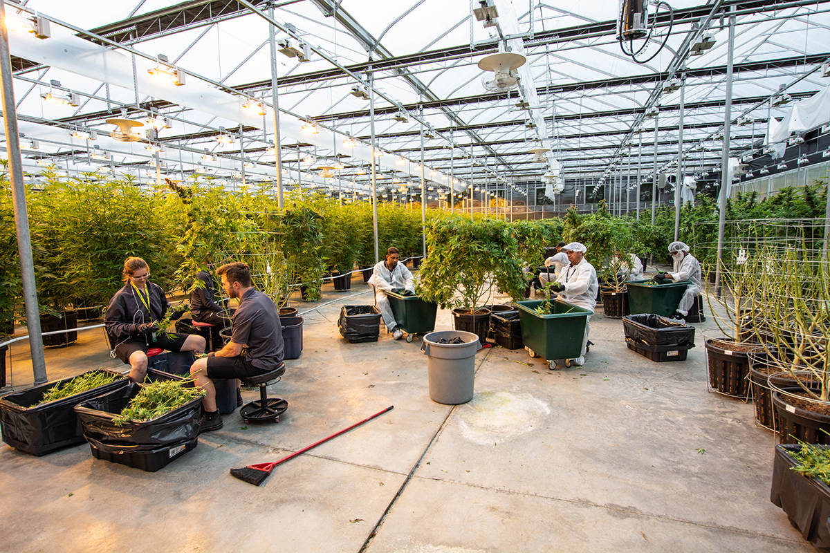 Employees at licensed cannabis producer Tantalus' large-scale greenhouse in Maple Ridge B.C. (Black Press Media)