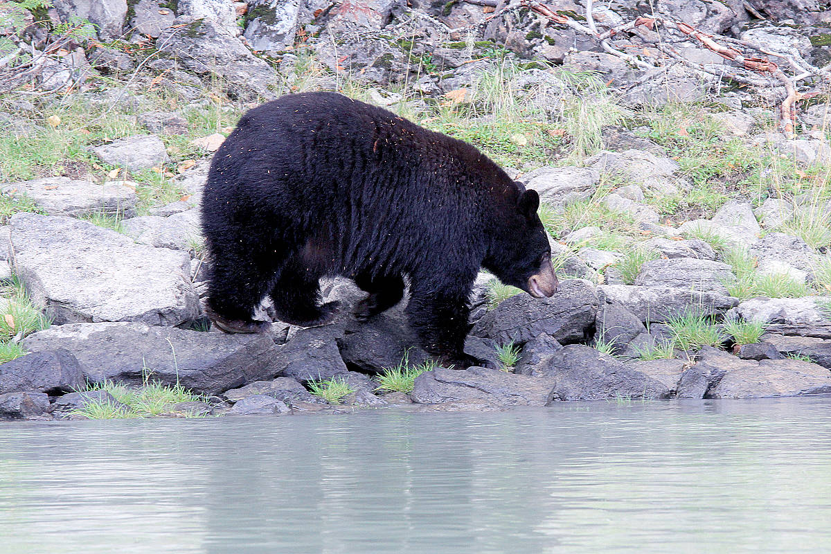 People have been spotted trying to feed a black bear like this one near Youbou. (Jill Hayward photo)