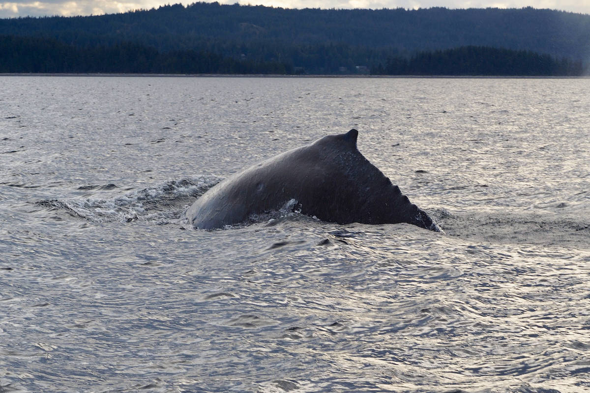 Splashy the humpback calf, first spotted on June 13, near Whaletown. (Photo by, Zoe Molder, Straitwatch / Cetus Research and Conservation)