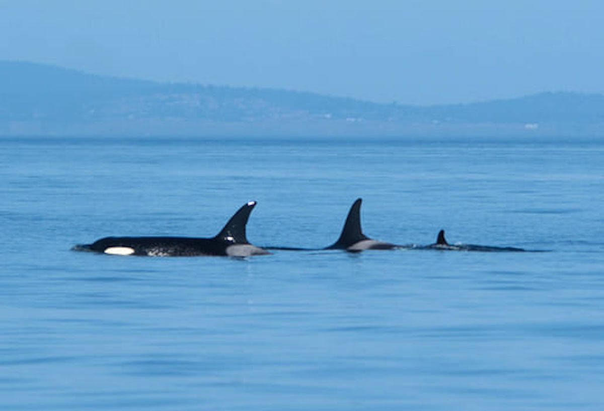 J47 (left to right), mother J35 and new baby orca J57 were spotted in the Salish Sea on Saturday, Sept. 5. (Sarah McCullagh photo)