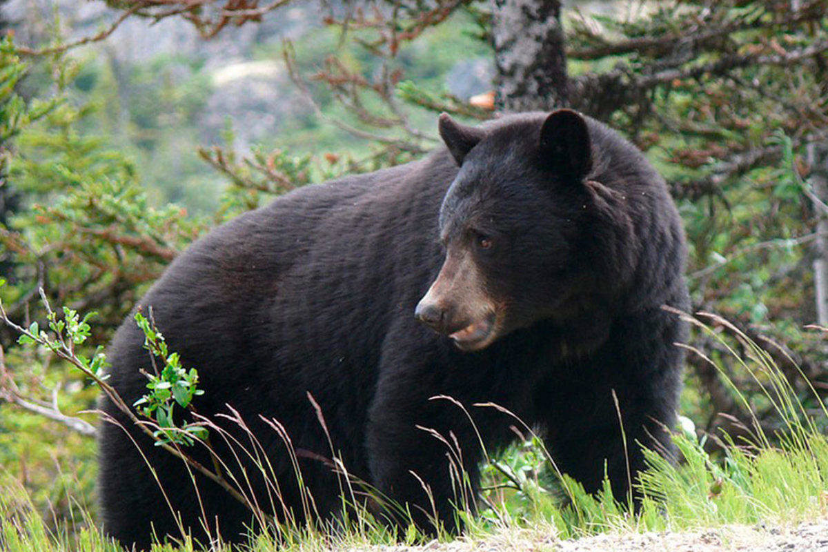 Black bears are common in the Tofino-Ucluelet region and motorists are urged to be alert for any wildlife crossings. (Westerly file photo)