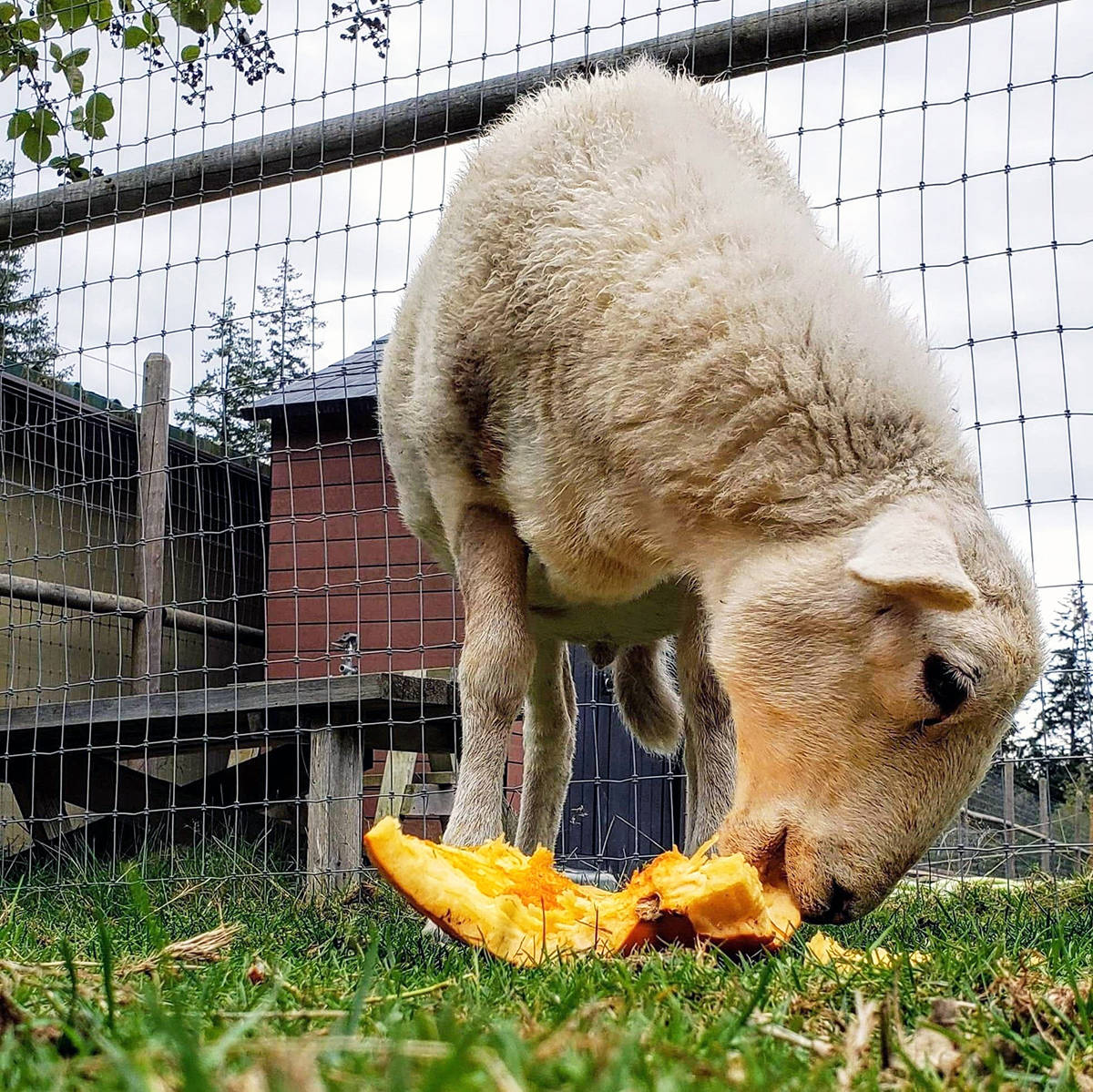 "Sam the Lamb digs into a pumpkin during his first-ever Pumpkin Smash. It's always such a nice treat to provide a special day for all the animals here, says RASTA Sanctuary CEO Lucie Cerny, and ""we couldn't do it without everyone's generous support."" (Photo submitted)"