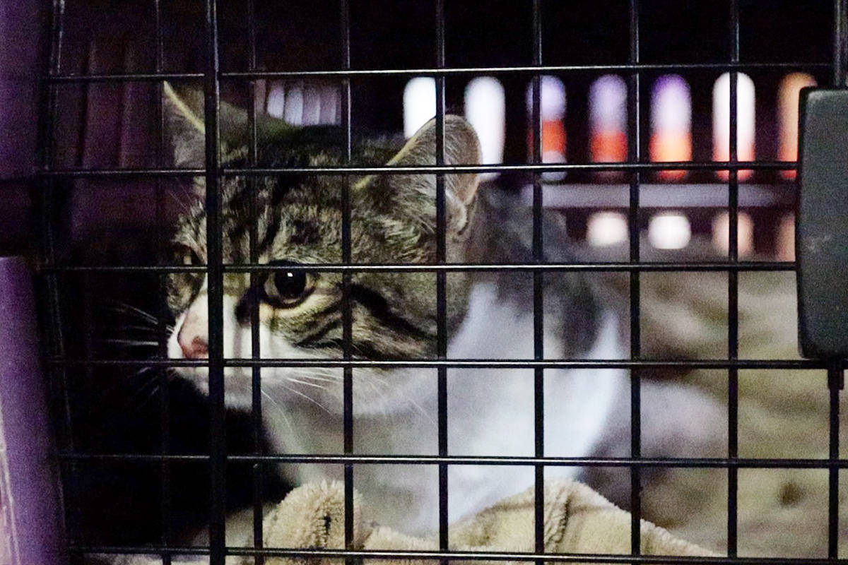 The cats are being sheltered in a heated trailer outside Feeny's home. This cat was kept in a carrying crate while he waited for his eye drops from Feeny's friend, Lisa Valenta. Photo: Laurie Tritschler