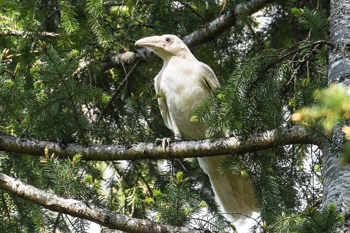A fledgling white raven was spotted near the end of Winchester Road in Coombs. (Mike Yip photo)