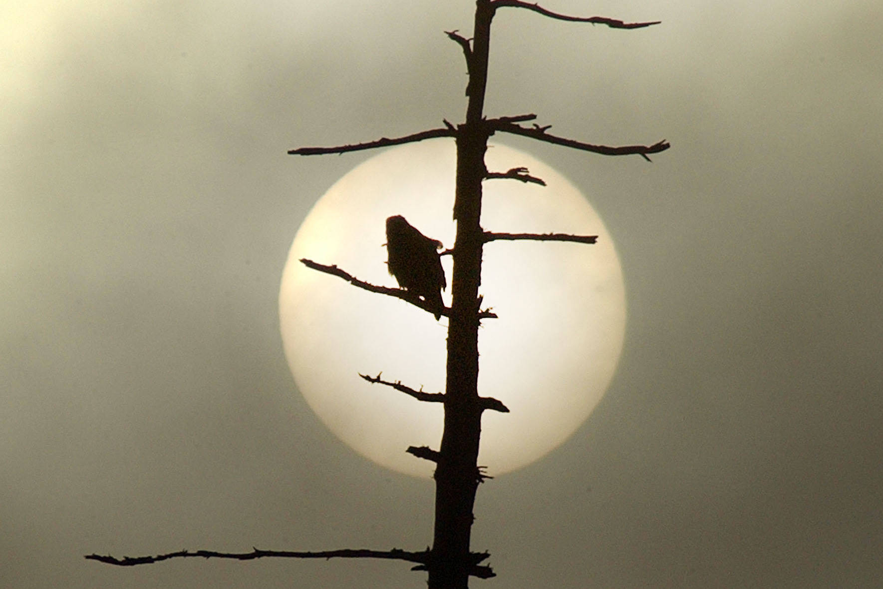 A hawk is silhouetted against a foggy morning sun. (Black Press file photo)